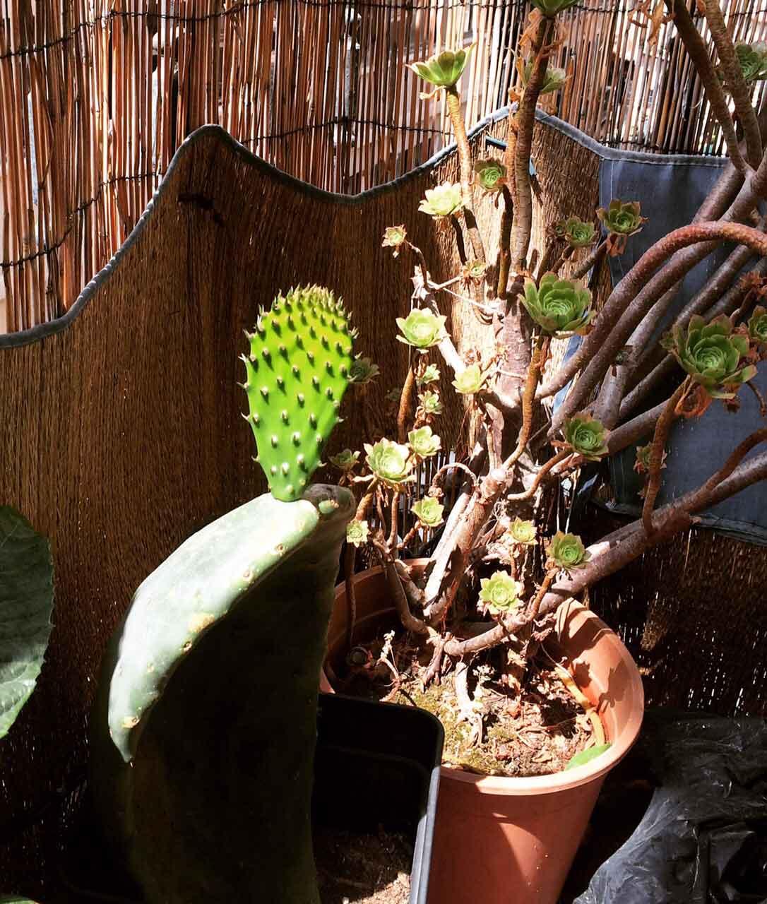 Yokoso Mein Kaktus